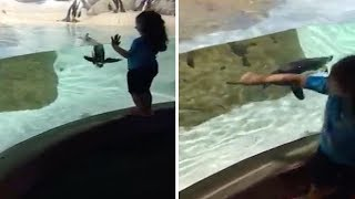 Adorable Penguin Plays Chase With Girl At Aquarium
