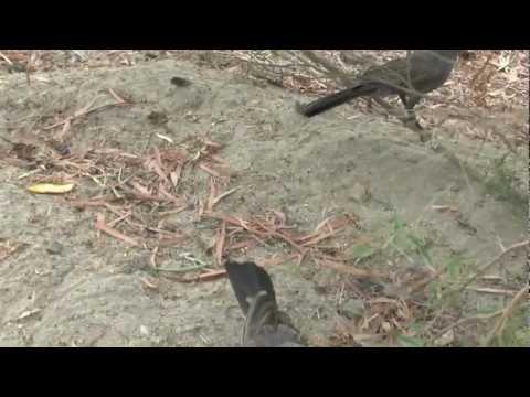 (1) APOSTLE BIRDS, HAPPY FAMILY BIRDS. PALMER RIVER NTH. QLD.