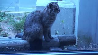 ツシマヤマネコの啼き声 ツシマヤマネコ 検索動画 10