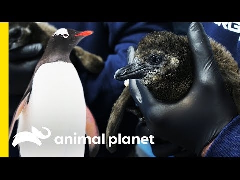 Frolicking with the Penguins of Georgia Aquarium  | Animal Bites with Dave Salmoni