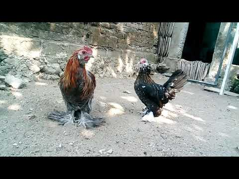 Ayam Belgian D'uccle Blue