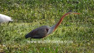 Purple Heron (Ardea purpurea) in strike position has the longest neck possible, at winter wetland