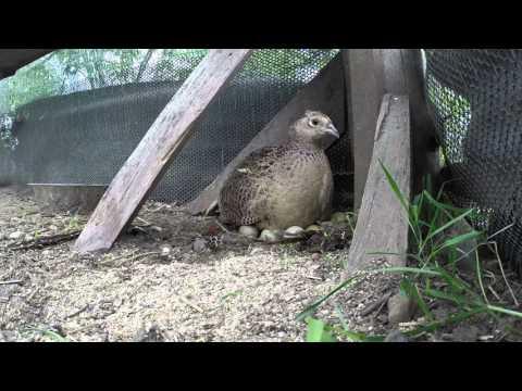 Mother pheasants nest