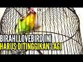 Birahi Lovebird Ini Harus Ditinggikan Lagi Biar Keluar Suara Keringnya  Mp3 - Mp4 Download
