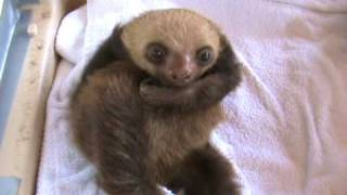 the funniest baby sloth video ever
