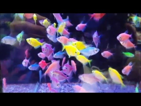 Bringing Home 2 New GloFish (Fluorescent Glow Fish)