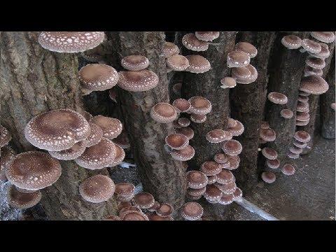 Japón cultivando hongos en el bosque - increíble granja de tecnología agrícola de Japón