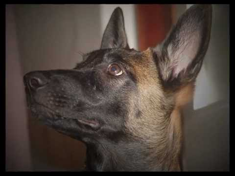 Dog's tricks - Vita, five months old malinois