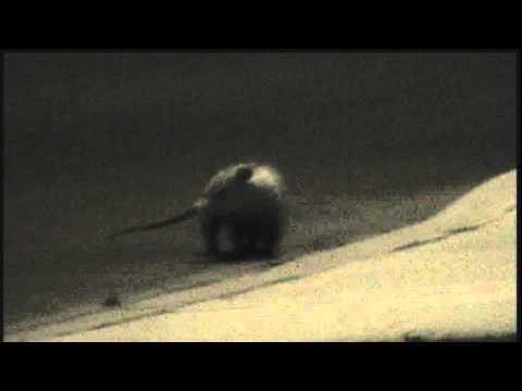 possum-seen-in-front-yard-fresno-!