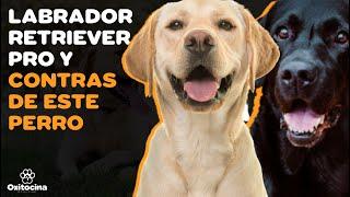 VENTAJAS Y DESVENTAJAS DE TENER UN LABRADOR RETRIEVER