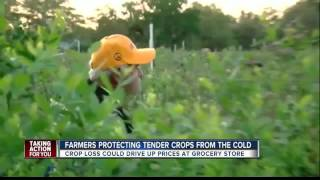 Farmers protecting tender crops from the cold