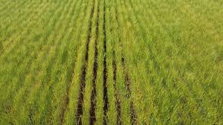 まだ青い麦と田圃の様子.