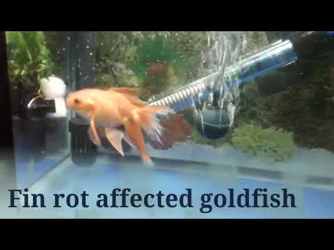 GOLDFISH MEDICATION FOR FIN ROT