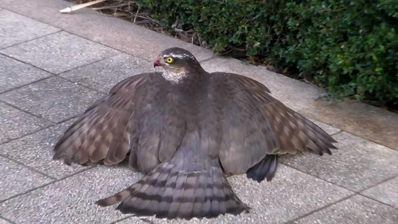 鷹(ハイタカ)大接近 Beautiful Sparrowhawk - YouTube