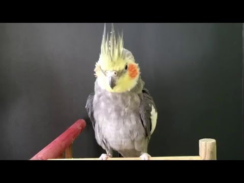 Cheeky the Cockatiel whistles the Collingwood AFL Team Song