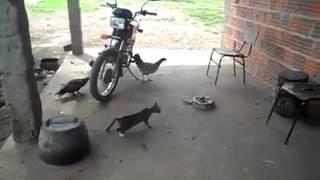 Inacreditável susto em gato brigando com cobra!