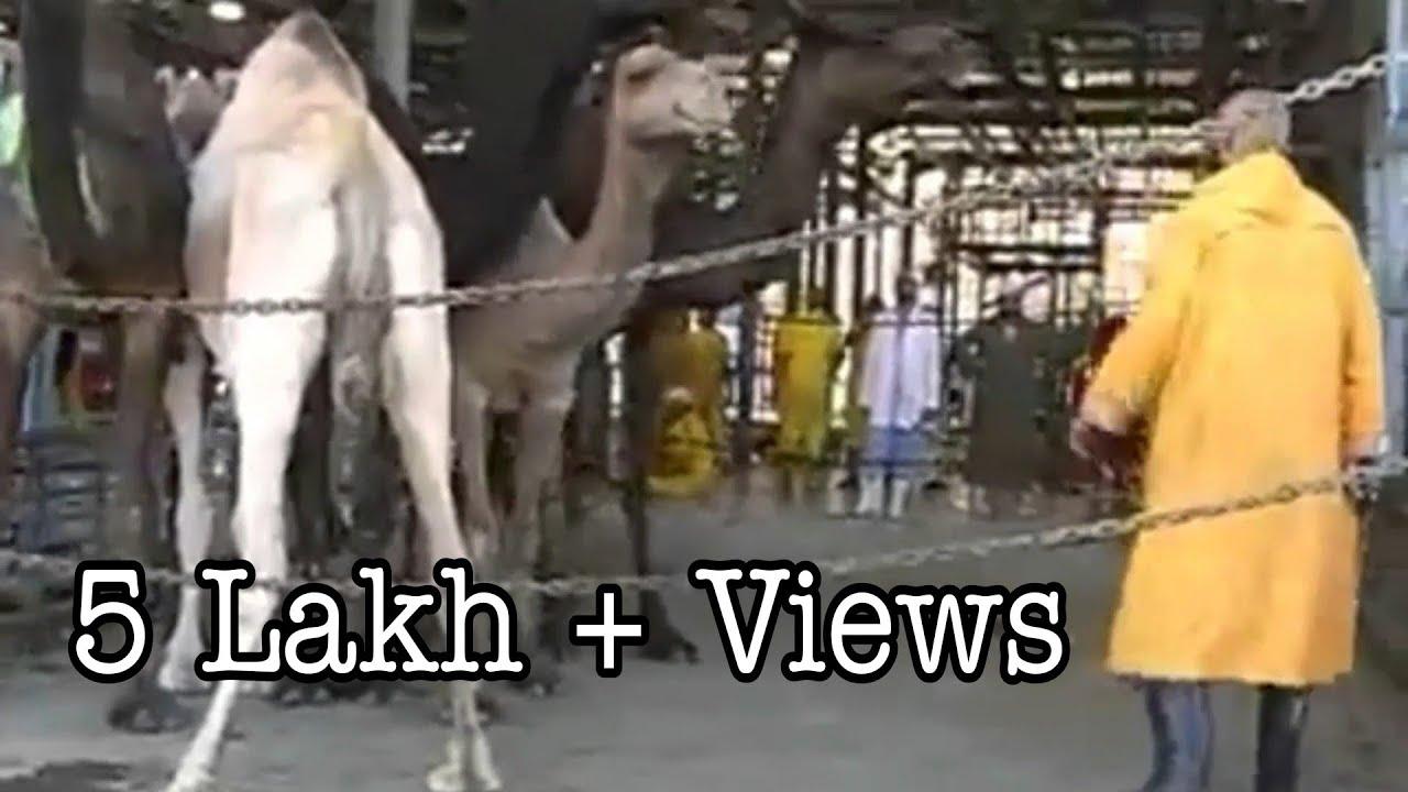 Download Qurbani of camel in Saudi Arabia 2017