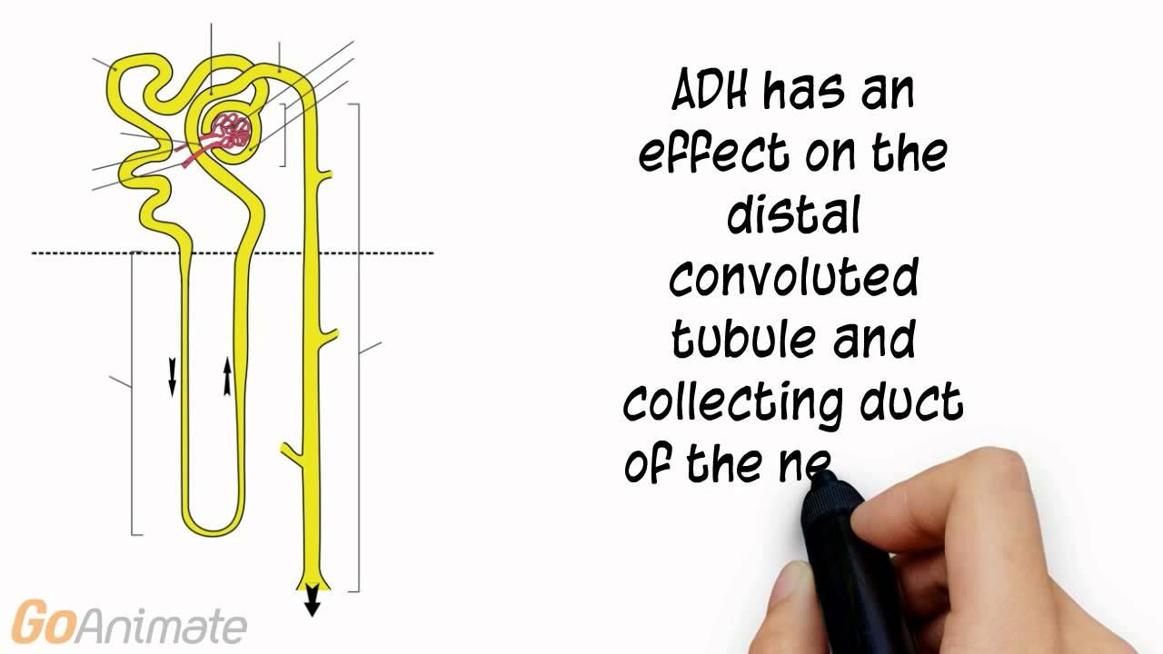 Anatomy and Physiology: Endocrine System: Antidiurectic Hormone (ADH ...