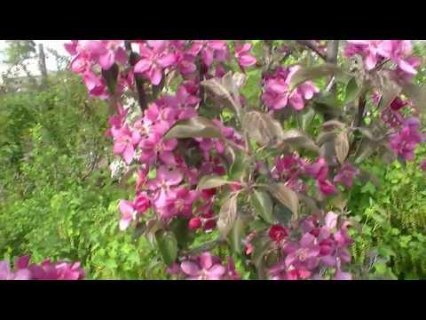 Красномякотная яблоня Эра, второе цветение.