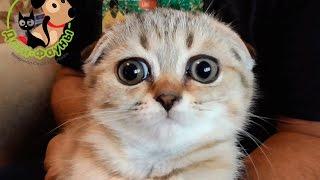 Шотландские вислоухие котята. Как выбрать здорового котенка?