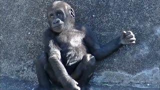 胸をポコポコと叩く様子です。赤ちゃんがオスゴリラのマネをしています...