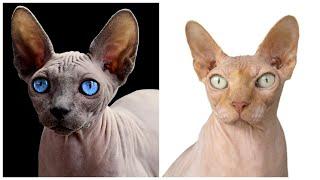 12 Interesting Sphynx Cat Facts