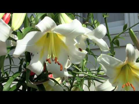 How To Create Lily Hybrids At Home Youtube