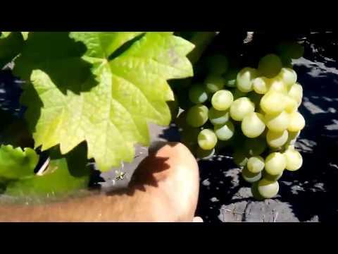 Купить саженцы винограда элитных сортов. Виноградный