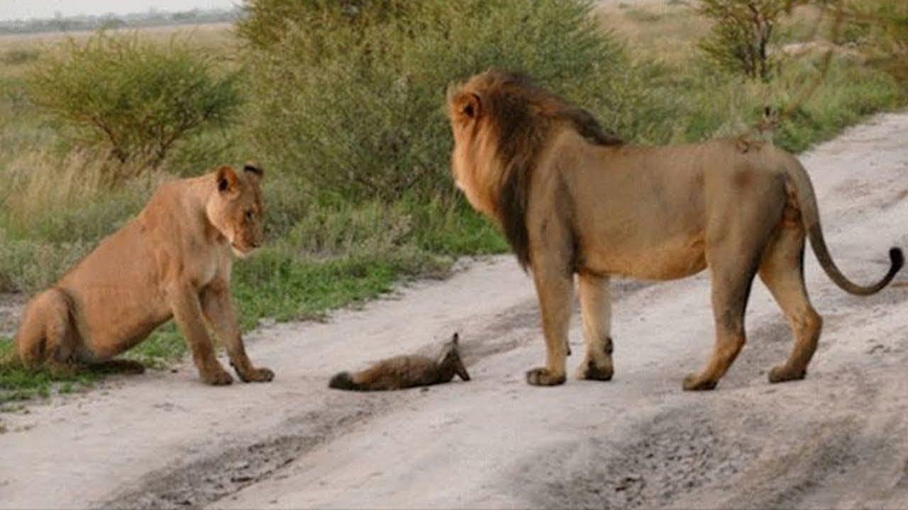 Download Dva lvi přistoupili ke zraněnému liščeti… Pak se stalo něco nevysvětlitelného