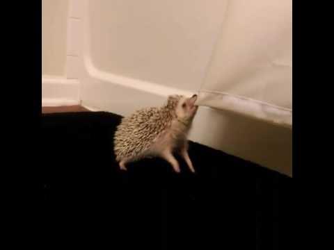 hedgehog tries to steal shower curtain