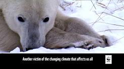 ©WWF Climate Change Polar Bears