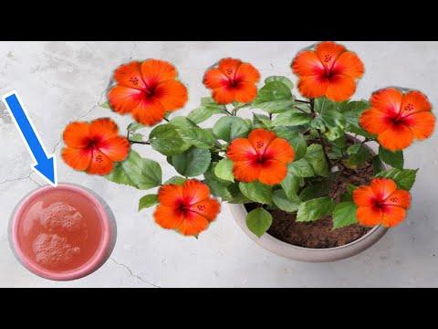 बस एक बार गुड़हल के पौधों में डालिए फूलों की बरसात ना हो जाए तो नाम बदल देना