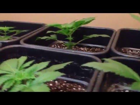 Multiple cannabis strain grow