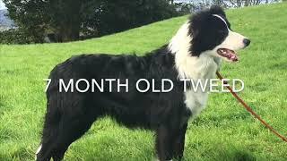 7 month old Border collie dog training
