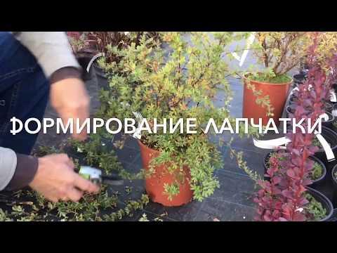 Лапчатка - формирование растения