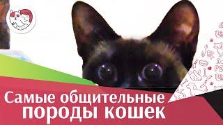 5 самых общительных пород кошек на ilikepet