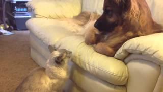 Игра в гляделки между котом и собакой