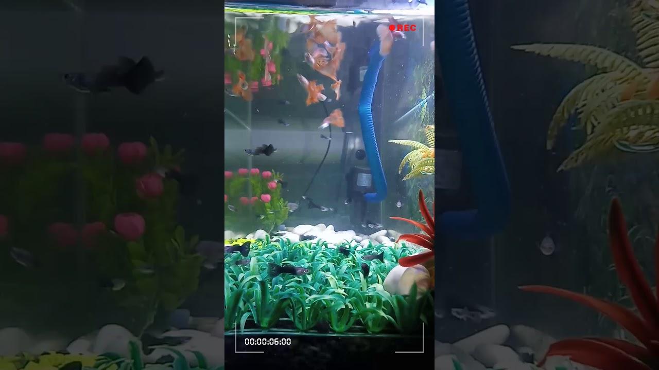 Ikan Guppy Hias