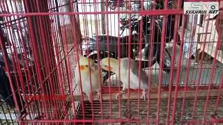Toko Burung dan hewan di bambi Pidie Aceh.