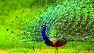 भारतीय नीला मोर দুর্লভ দেশি ময়ূর | Peafowl Peacock | Top 10 Most Beautiful Birds on Planet Earth
