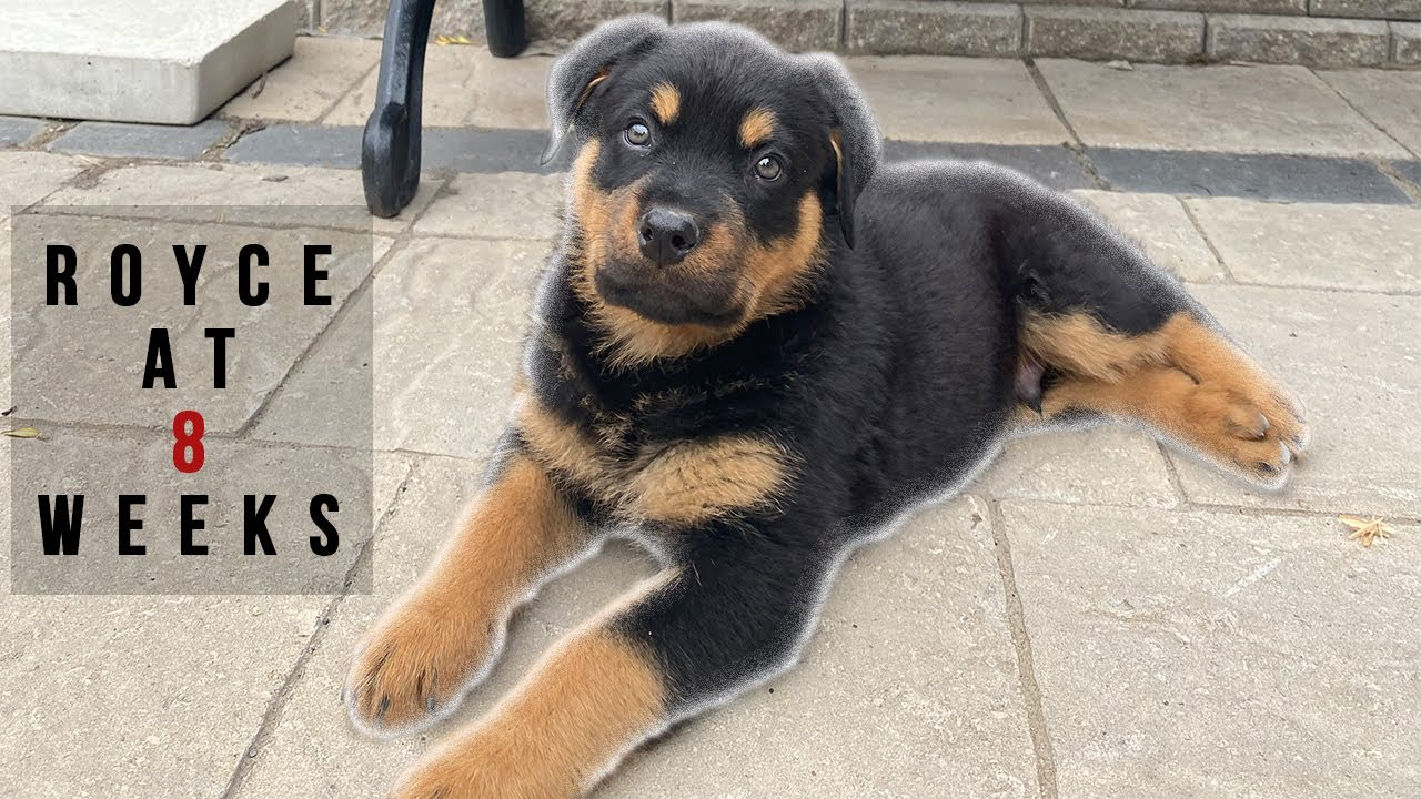 8 WEEK OLD ROTTWEILER PUPPY   FIRST DAYS HOME - YouTube