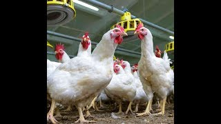 Poultry is not a problem for Health