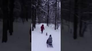 Джек рассл - ездовая собака!
