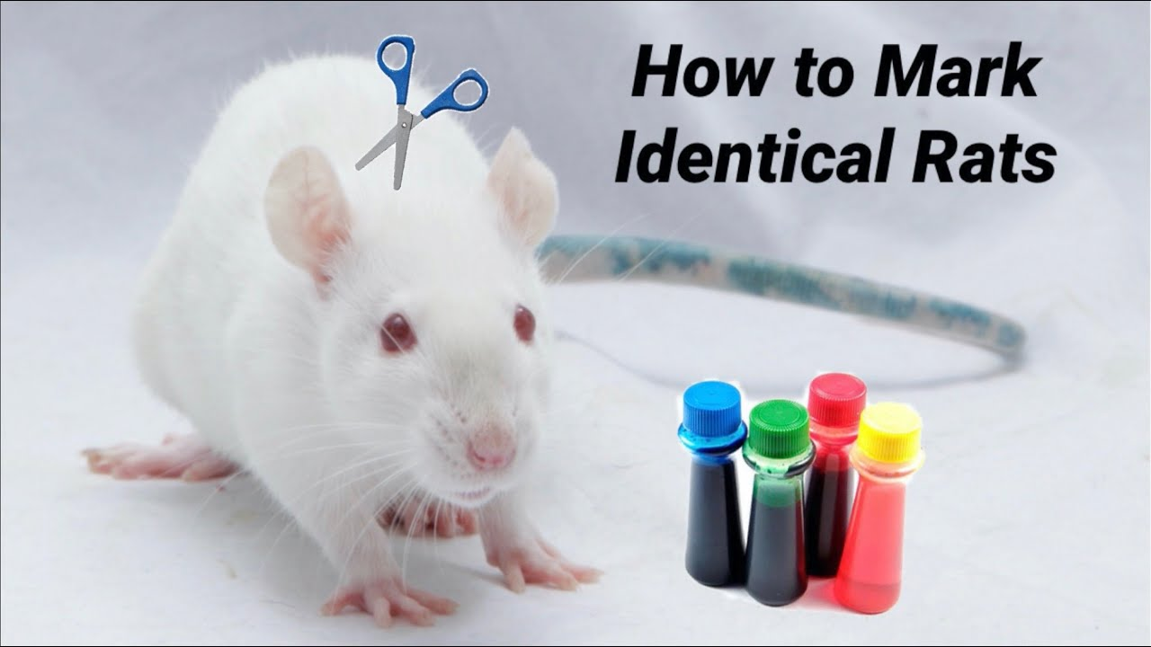 How to Mark Identical Rats to Easily Tell them Apart