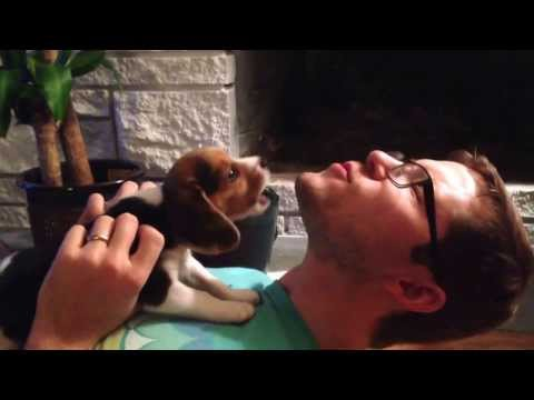Beagle puppy learning to howl