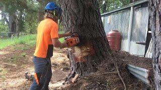 BORE cut FELLING large DANGEROUS leaning Pine tree