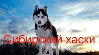 Сибирский хаски - как ездовая собака и домашний питомец.