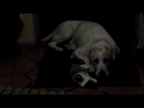 Scottish Fold kitten and Central Asian Shepherd Dog