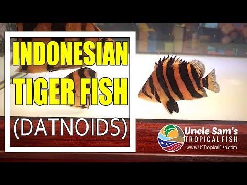 Indonesian Tiger Fish (Datnoids) - US Tropical Fish