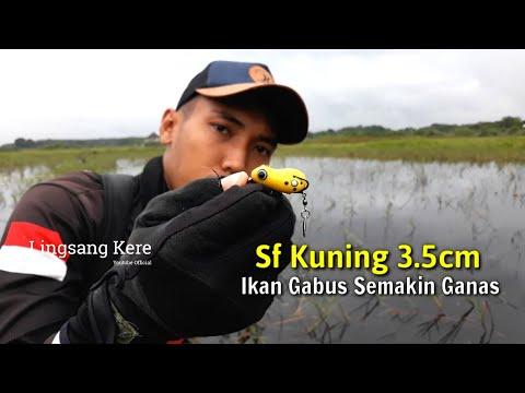 Casting Ikan Haruan / Casting Ikan Gabus Di Sawah Yang Banjir